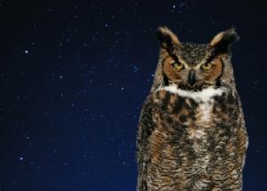 Late Night Owl